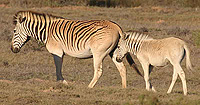 Quagga Zebra South Africa