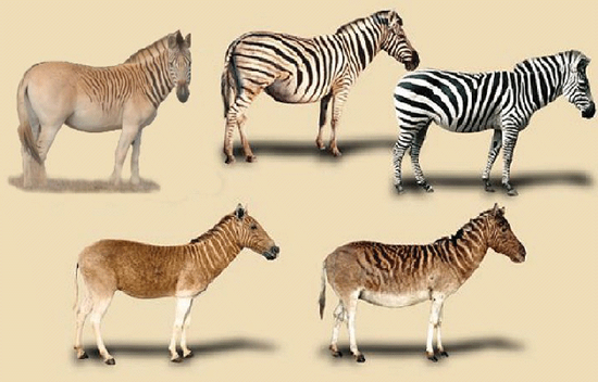 quagga project The quagga project is an attempt by a group in south africa to use selective  breeding to achieve a breeding lineage of plains zebra (equus quagga) which.